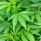 Home Office consults on medicinal use of cannabis