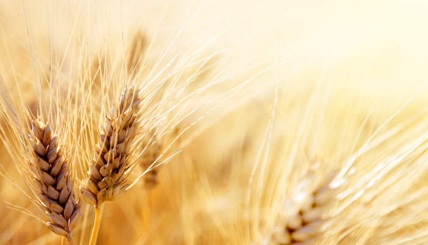 a wheat field image